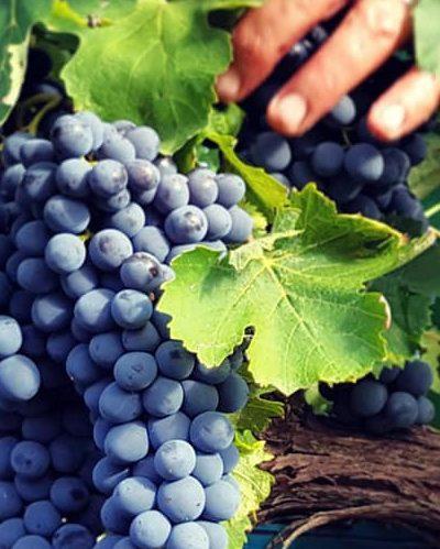 vino-terre-d-aquesia-acquapendente-vendemmia